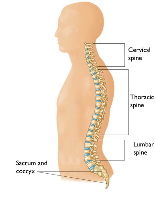 Spinal Cord and Spinal cord injury introduction
